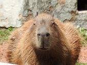 Close-up Of A Capybara Seen From The Front. It Is A Mammal Native To South America. poster