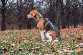 A Smart Beagle Puppy On A Walk In The City Park. Tricolor Beagle Puppy Is Watching A Peaceful Autumn poster