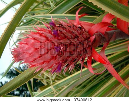 Red Pineapple Flower being polinated