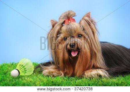 Hermoso yorkshire terrier con objeto ligero utilizado en bádminton en hierba en fondo colorido