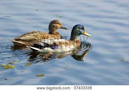 Couple of ducks
