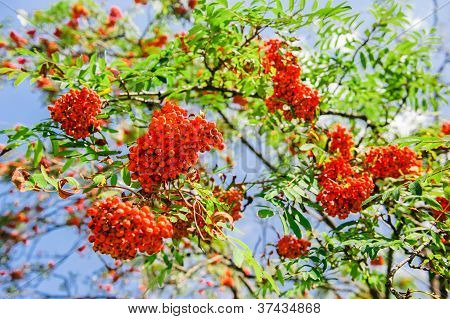 Blooming Ashberry Tree