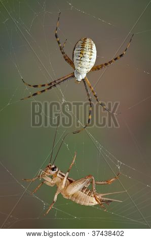 Spider And Cricket In Web
