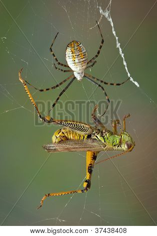 Spider Closing In On Hopper