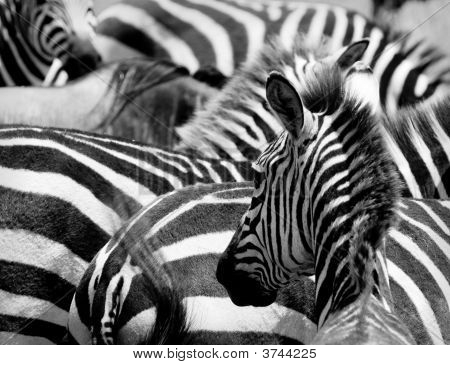 Pattern Of Zebras