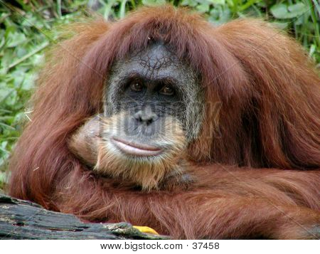 Orangutan Poses With A Smile
