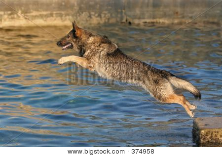 German Shepherd Jumping Into Water