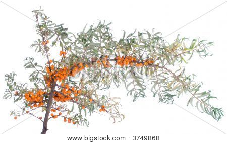 Branch Of Sea-Buckthorn