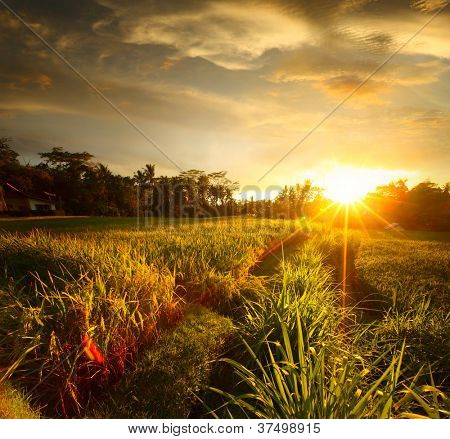 Sunset over rice field. Ubud, Bali