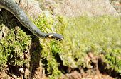 picture of harmless snakes  - A common water snake  - JPG