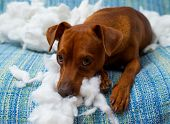 pic of mischief  - naughty playful puppy dog after biting a pillow tired of hard work - JPG