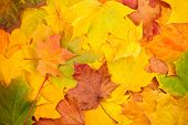 Beautiful yellow autumn leaves background