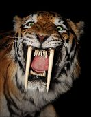 pic of saber tooth tiger  - saber - JPG