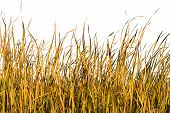 image of tall grass  - Long blades of grass and reeds isolated against a white background - JPG