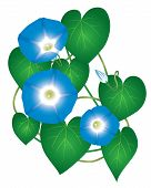 image of ipomoea  - Ipomoea morning glory plant with blue flowers - JPG