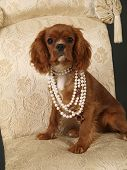 image of cute dog  - Stock photo of a King Charles Cavalier puppy wearing strings of pearls - JPG