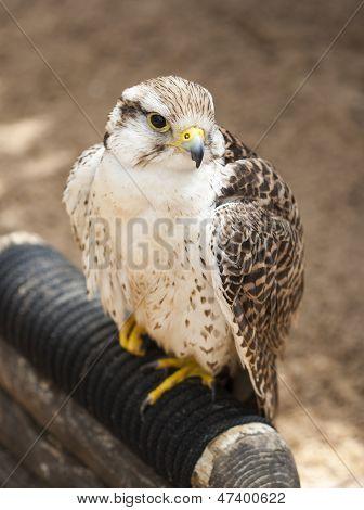 Small falcon