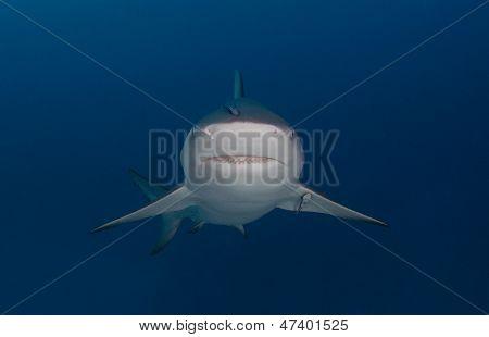 Bull shark head on