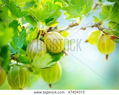 Gooseberry. Fresh and Ripe Organic Gooseberries Growing in the Garden