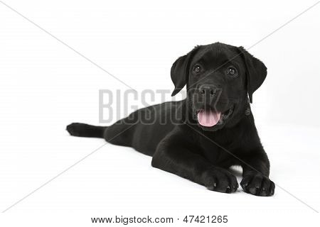 cute labrador puppy sticking tongue out