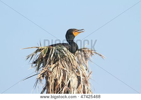 Double-crested Cormorant In A Nest
