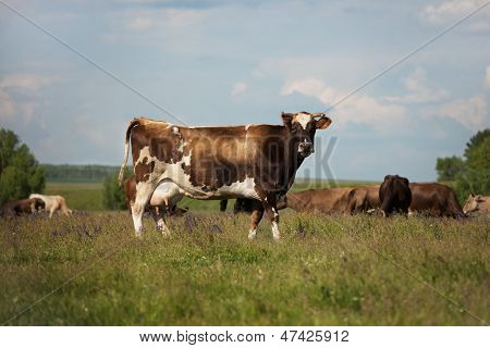 A Cow Stands On A Meadow