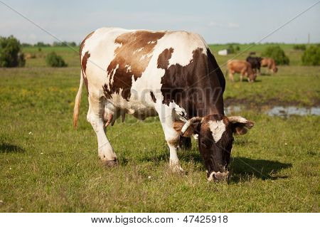 Large Cow Is Grazing In The Meadow