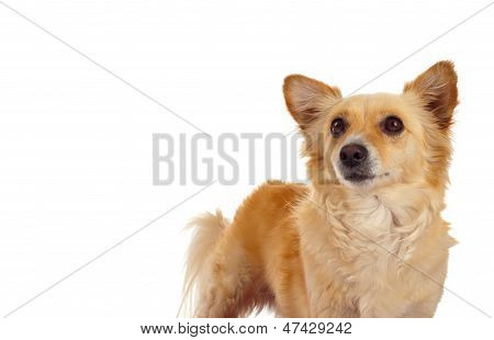 Spitz Dog On White Background