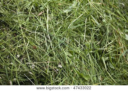 Fresh mown green grass or hay background texture.