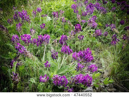 Viola Odorata - Sweet Violet,