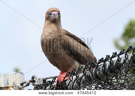 Red-footed Booby (sula)
