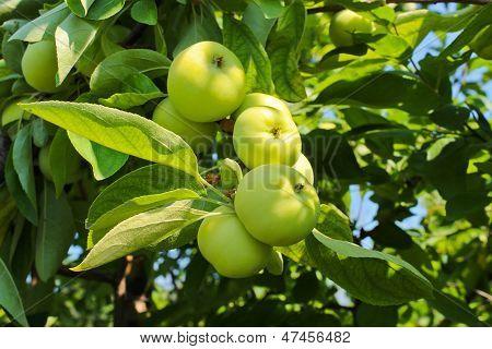 Reife Äpfel auf einem Zweig