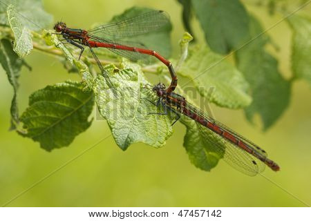 Mating Large Red Damselflies