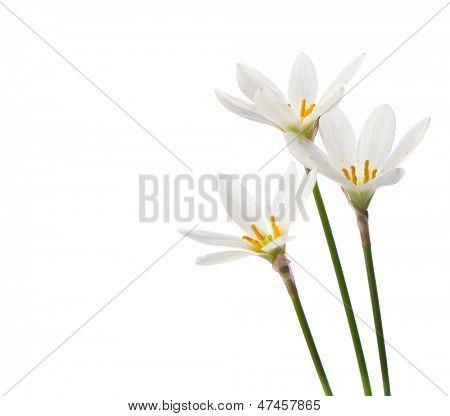 lirios blancos sobre un fondo blanco. Zephyranthes candida