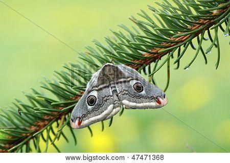 Emperor moth (Eudia pavonia)