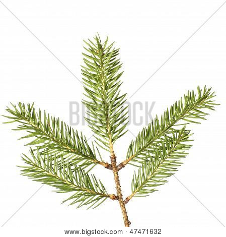 Pine Branches Isolated