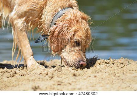 Golden Retriver On The Beach