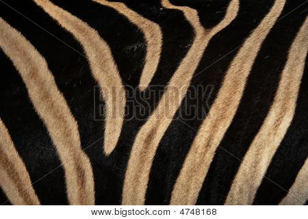 Details Of The Skin Of An African Zebra