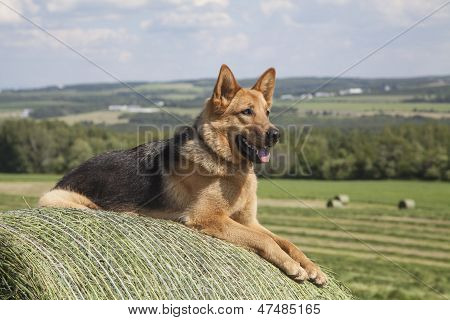 Young one year old German Shepherd