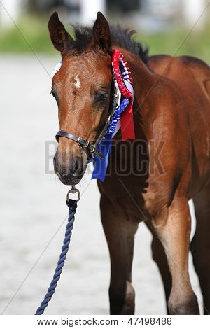 Oldenburger foal