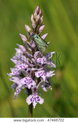 Cistus Forester Moth on Common Spotted Orchid
