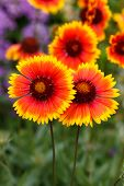 picture of black-eyed susans  - Nice flowers - JPG