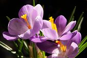 lila flowers of crocus