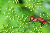 Striped stink bug climbs on umbels