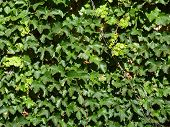 picture of english ivy  - Background image of an ivy - JPG