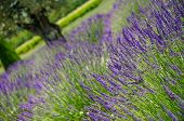 Lavender  Blooming In Provence, France