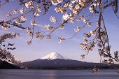 picture of mount fuji  - Mount Fuji and sakura symbol of Japan