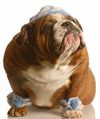 stock photo of leg warmer  - english bulldog wearing cute hat and leg warmers - JPG