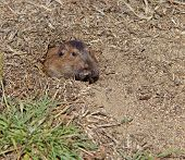 image of gopher  - Botta - JPG