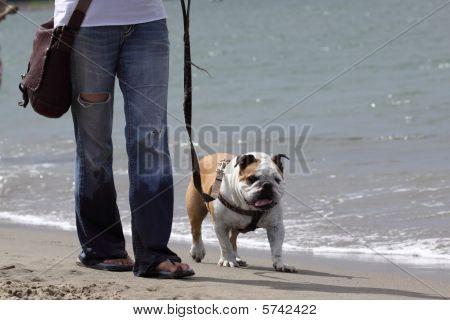 Walking The BullDog